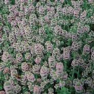 Thyme English Winter Approx 1000 seeds - Herbs
